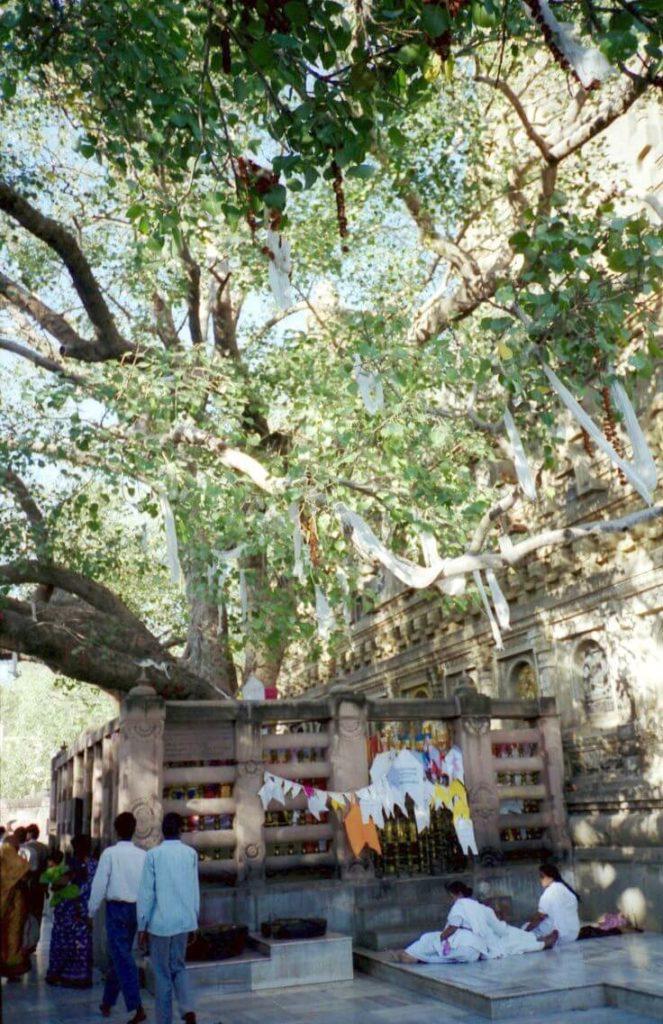 仏教4大聖地ブッダガヤの菩提樹
